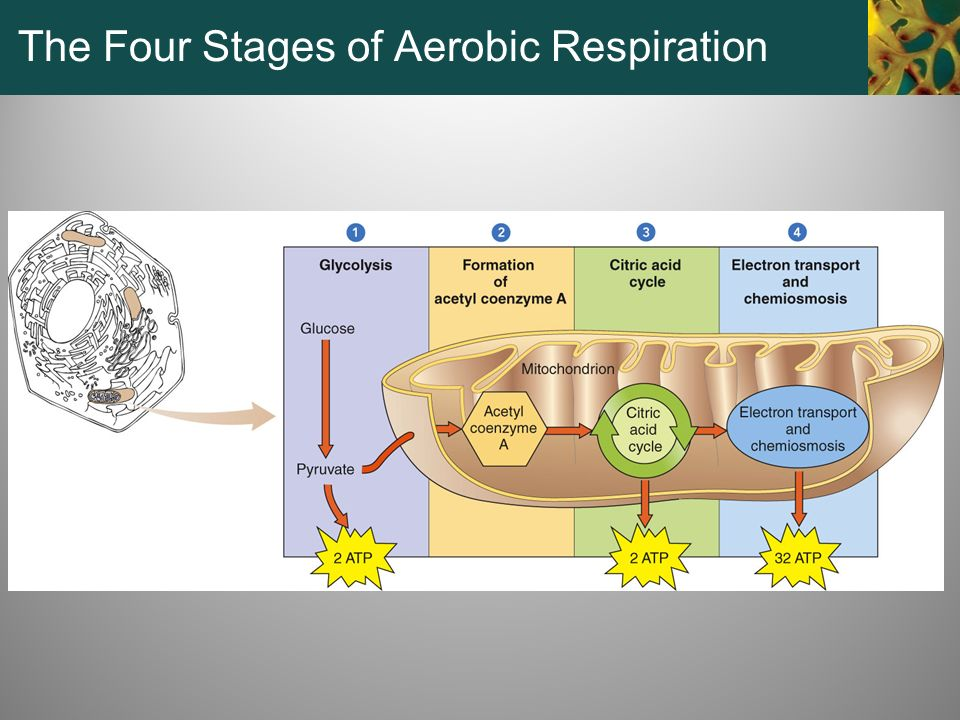 The Four Stages of Aerobic Respiration