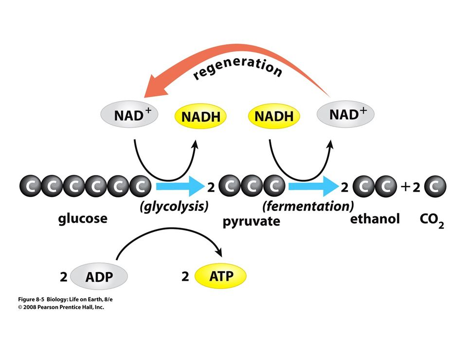 Glycolysis diagram prentice hall diy wiring diagrams biology life on earth lecture for chapter 8 harvesting energy rh slideplayer com glycolysis diagram biology ccuart Images