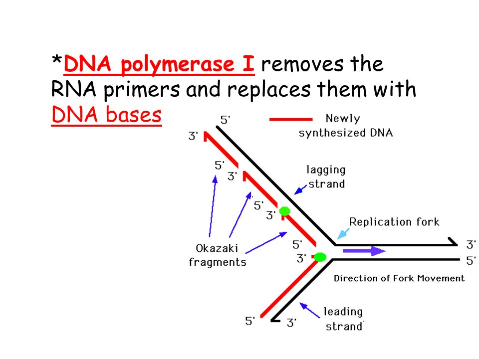 42 dna polymerase i removes the rna primers and replaces them with dna bases