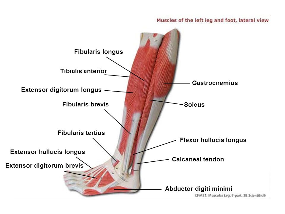 Epicranius (frontal belly) - ppt video online download