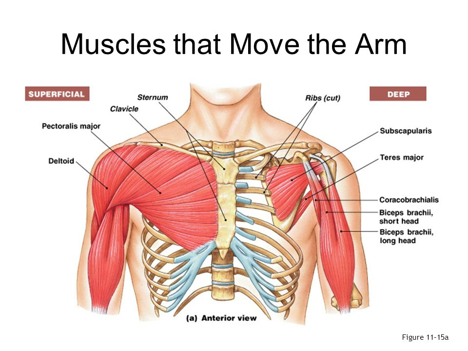 Arm Shoulder Muscles Diagram Anterior Circuit Connection Diagram