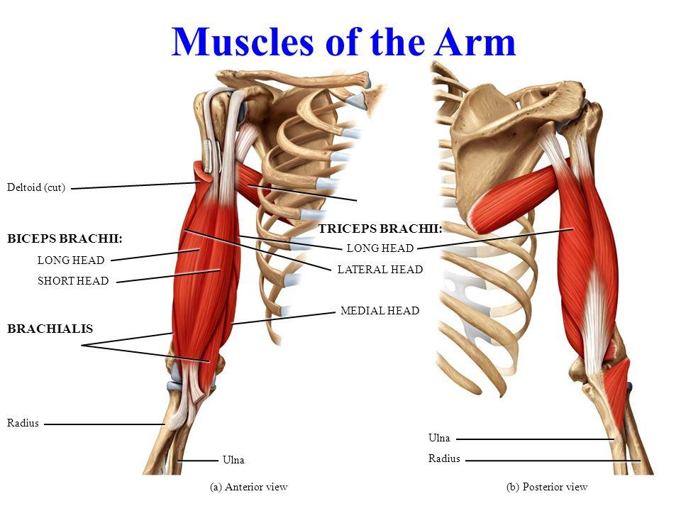 Fancy Biceps Brachii Long Head Photo - Anatomy And Physiology ...