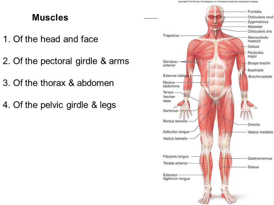 Muscles Prime Mover Responsible For Movement Ppt Video Online