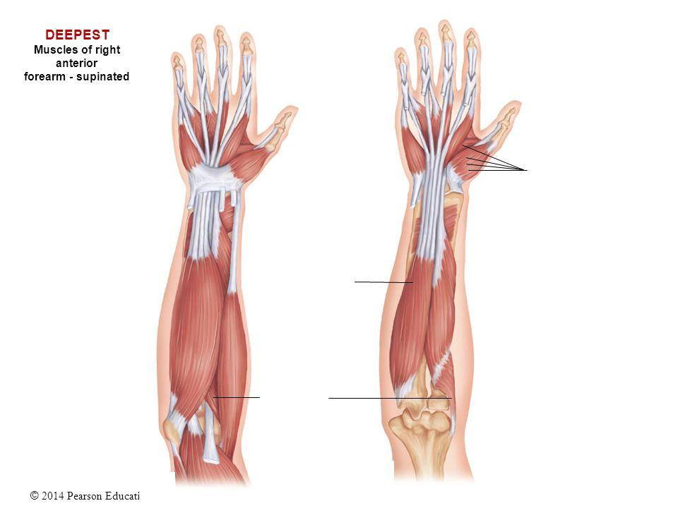 anterior forearm essay Anatomy bowel components  internal iliac artery: anterior branches [id 1169]  anterior forearm muscles: superficial group [id 1117.