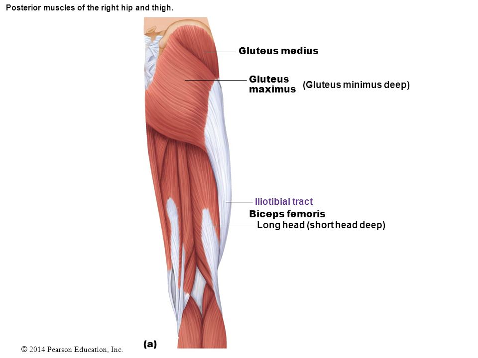 Muscles Study Guide. - ppt video online download