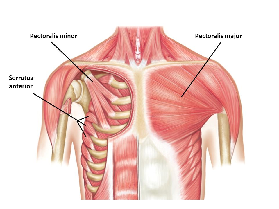 Muscle Identification Practice Ppt Video Online Download