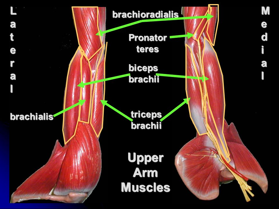 Shoulder Girdle And Upper Limb Muscles Ppt Video Online Download