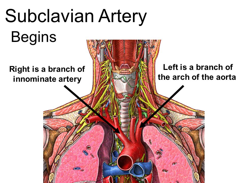 Vascular Anatomy. - ppt video online download