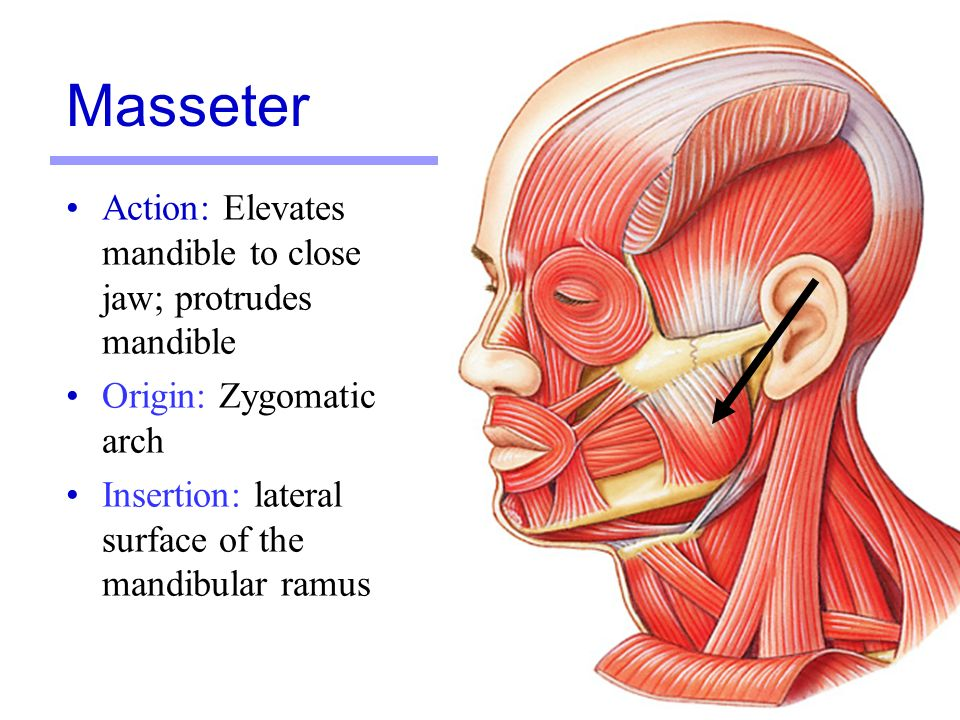 The zygomaticus major muscle also major zygomatic muscle or simply zygomaticus major latin musculus zygomaticus major is a paired facial muscle that extends between the zygomatic bone and the corner of the mouth It is one of the two zygomatic muscles major and minor that lie next to each other in the cheek area