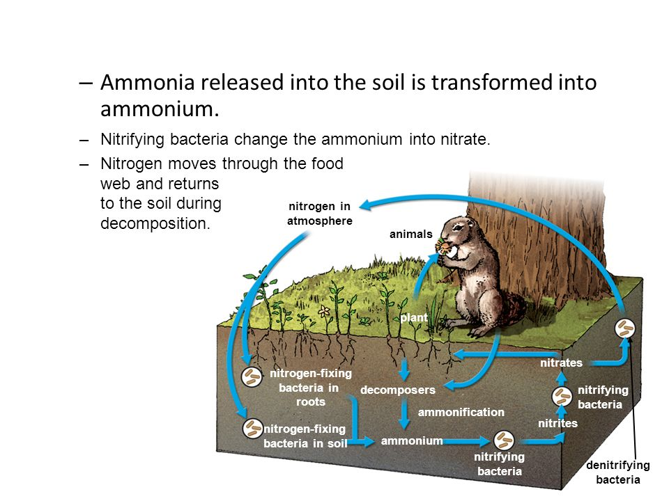 Ammonia released into the soil is transformed into ammonium.