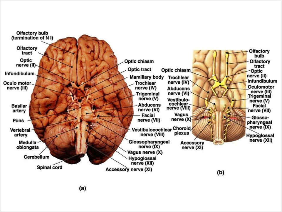 GROSS ANATOMY OF THE BRAIN & CRANIAL NERVES # 1 - ppt video online ...