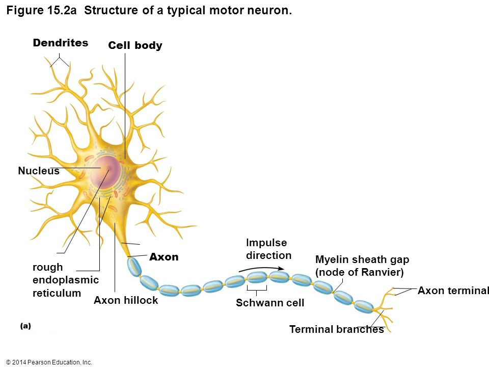 Motor neuron structure diagram complete wiring diagrams histology of nervous tissue ppt video online download rh slideplayer com neuron diagram labeled neuron diagram labeled ccuart Images