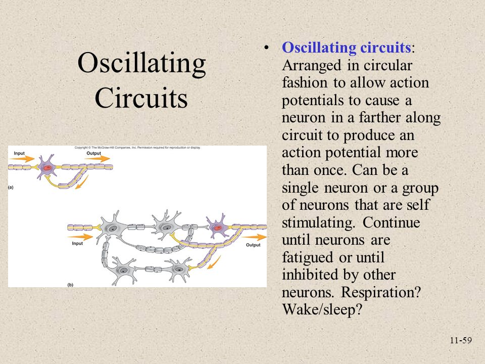 Oscillating Circuits A Arranged In Circular Fashion To Allow Action Potentials To Cause A Neuron In A Farther Along Circuit To Produce An Action Potential More Than Once Can Be A Single Neuron Or A Group Of Neurons That Are Self Stimulating Continue Until Neurons Are Fatigued Or Until Inhibited By Other Neurons Respiration Wake Fsleep