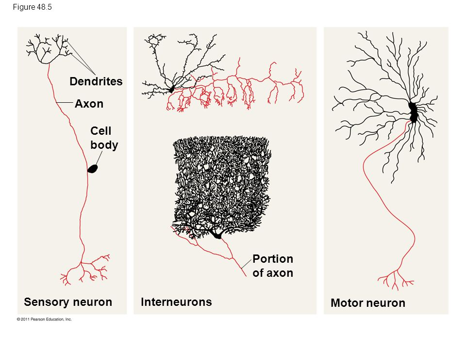 Dendrites Axon Cell body Portion of axon Sensory neuron Interneurons