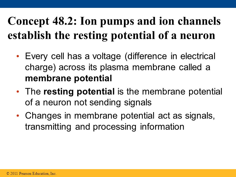 Concept 48.2: Ion pumps and ion channels establish the resting potential of a neuron