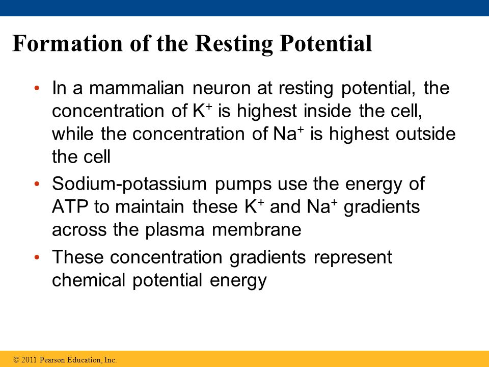 Formation of the Resting Potential