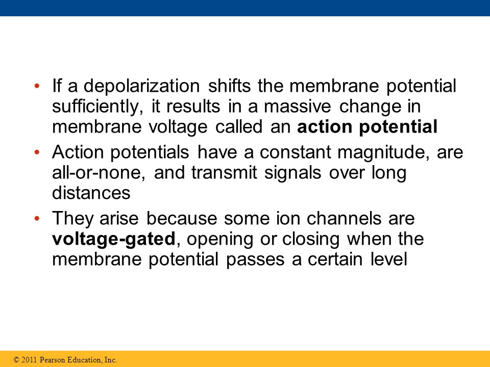 If a depolarization shifts the membrane potential sufficiently, it results in a massive change in membrane voltage called an action potential