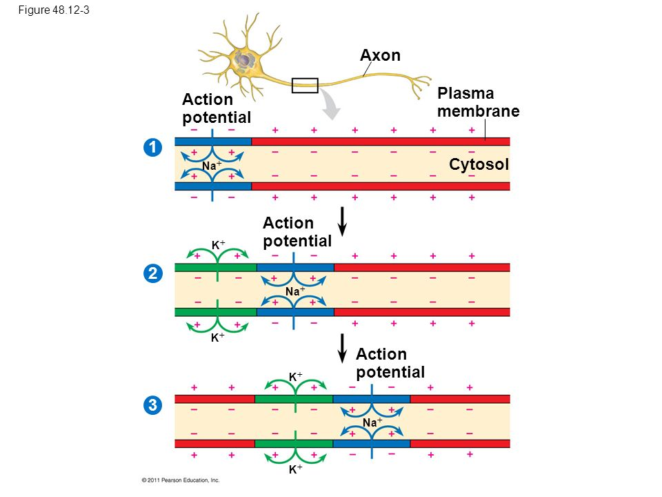 Axon Plasma membrane Action potential 1 Cytosol Action potential 2