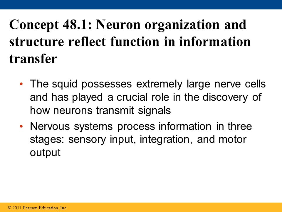 Concept 48.1: Neuron organization and structure reflect function in information transfer