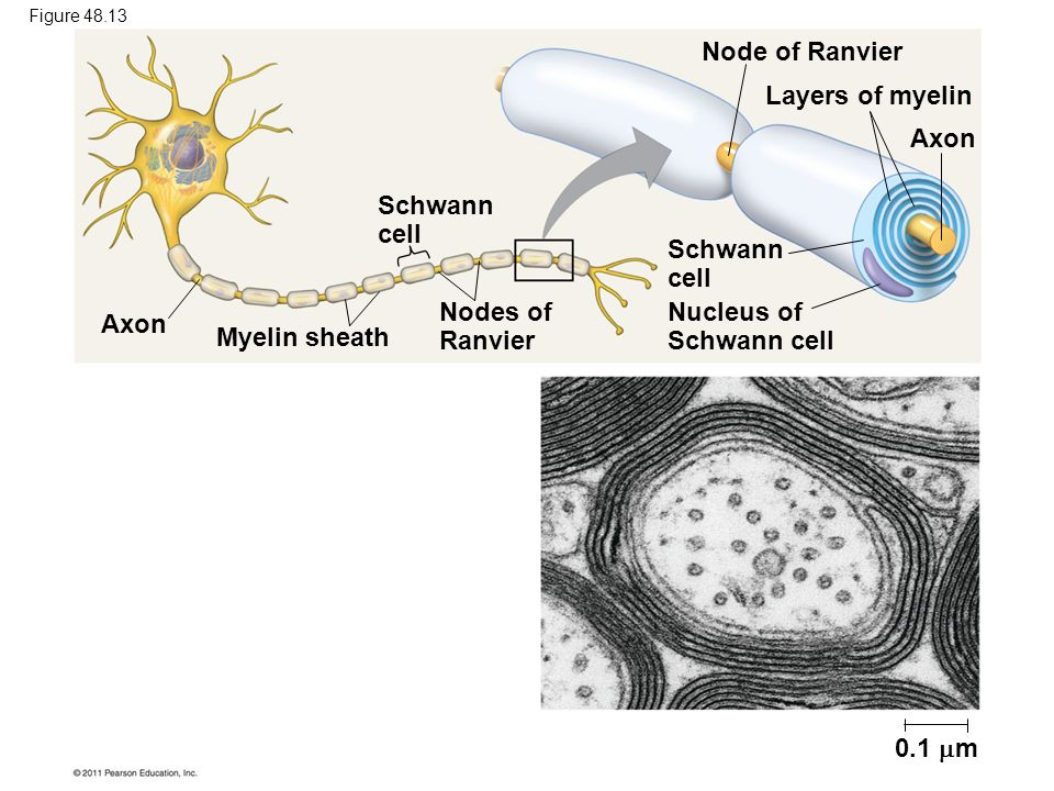 Nucleus of Schwann cell Axon Myelin sheath