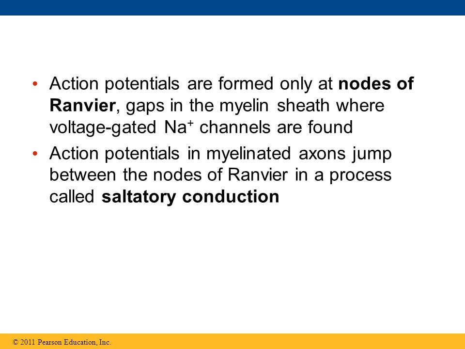 Action potentials are formed only at nodes of Ranvier, gaps in the myelin sheath where voltage-gated Na+ channels are found
