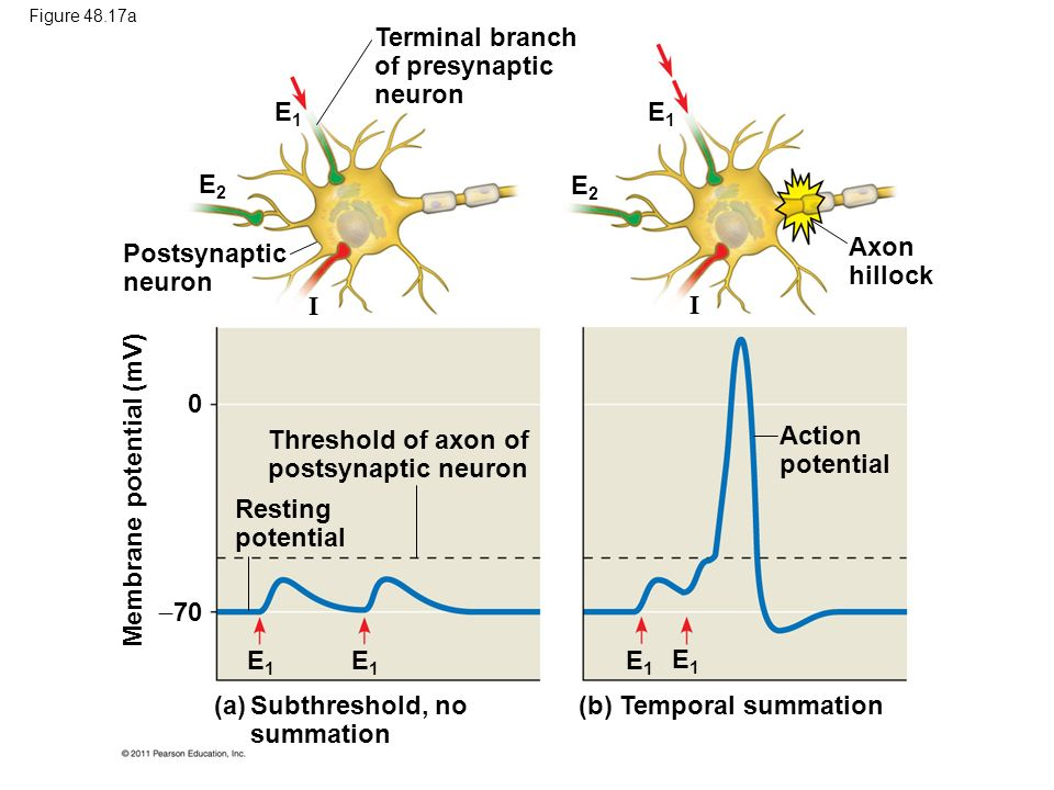 Terminal branch of presynaptic neuron