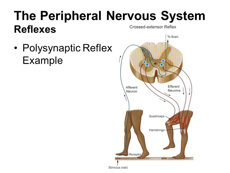 The Peripheral Nervous System Ppt Video Online Download