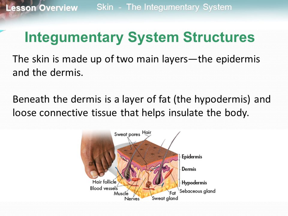323 Skin The Integumentary System Ppt Video Online Download