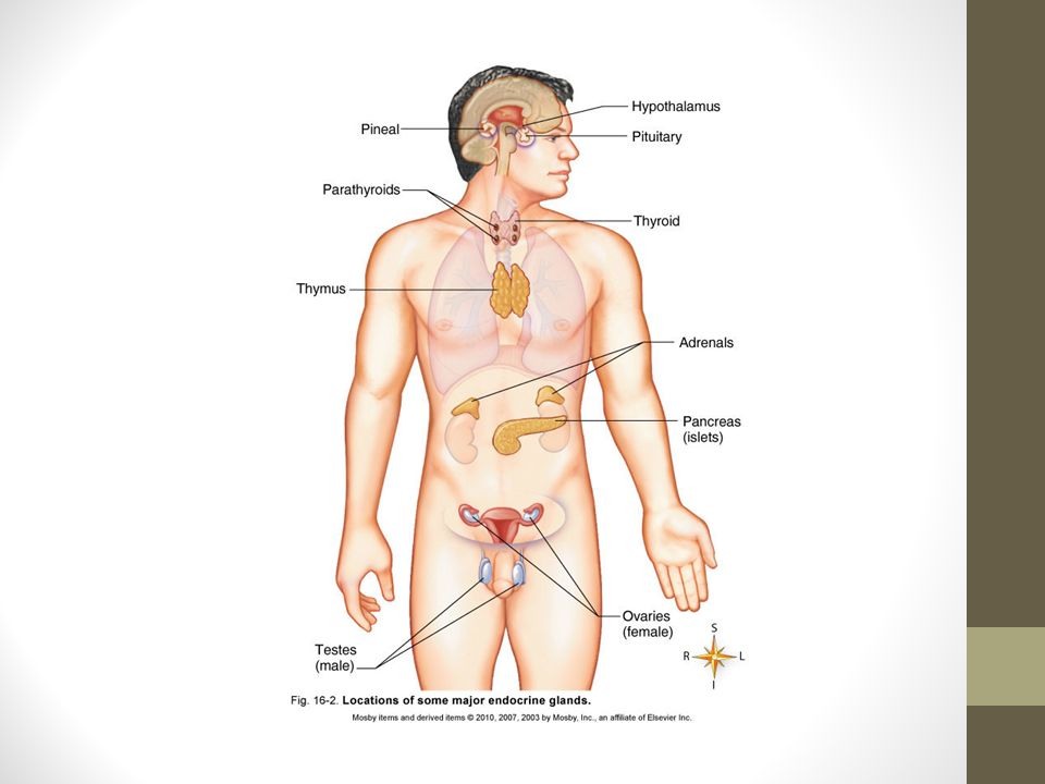 Endocrine System Images And Information Adapted And Modified From