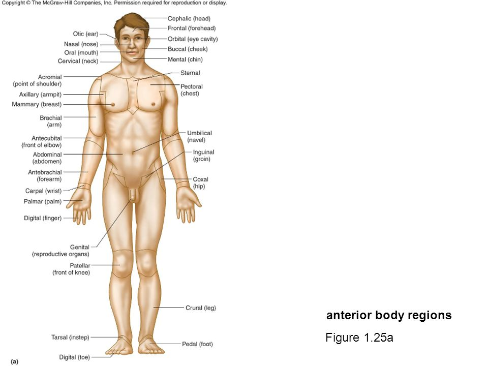 Human anatomy body regions diagram complete wiring diagrams awesome anatomy and physiology body regions quiz model anatomy and rh stockmarketresources info endocrin anatomy human body croatish human anatomy on body ccuart Gallery