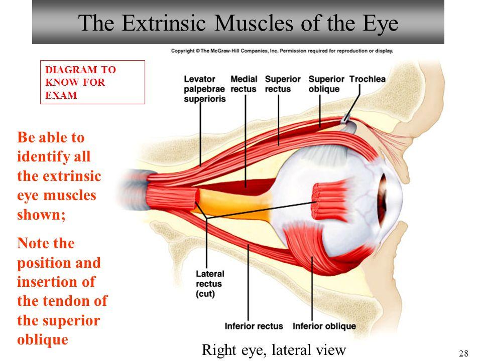 Neuronspinal Cord Histology Brain Anatomy Ear Eye Anatomy Ppt