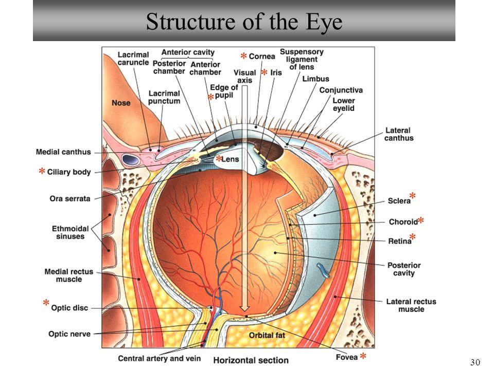 Eye Anatomy Limbus Image Collections Human Body Anatomy