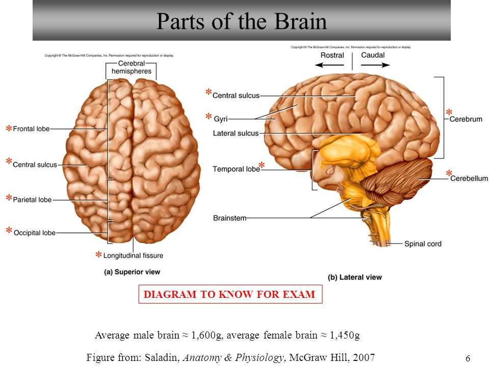 Neuronspinal Cord Histology Brain Anatomy Ear Eye Anatomy Ppt