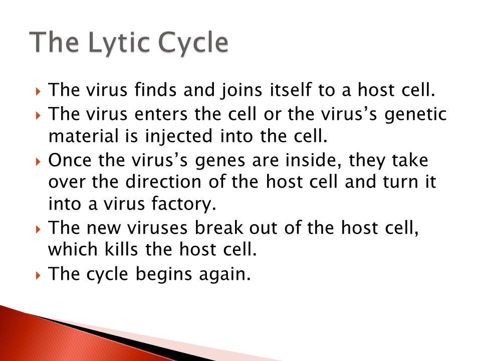 The Lytic Cycle The virus finds and joins itself to a host cell.