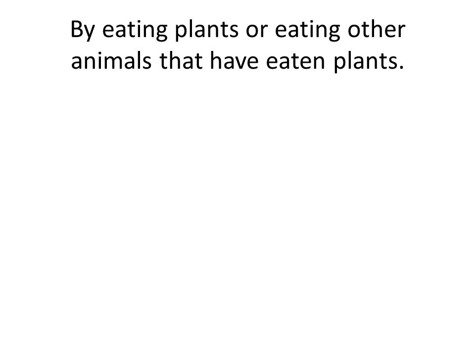By eating plants or eating other animals that have eaten plants.