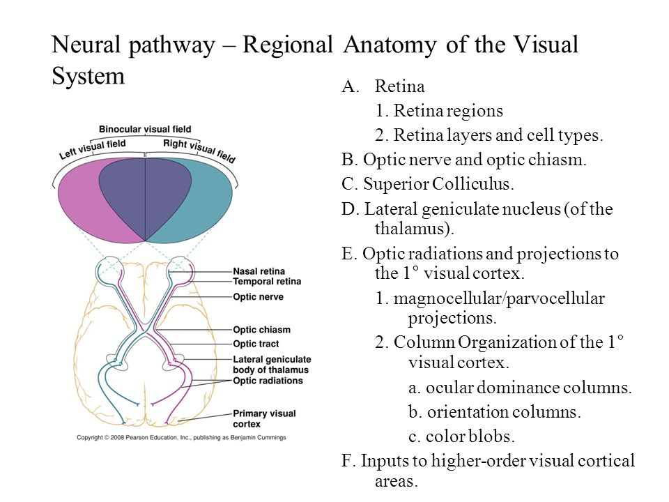 Visual System. - ppt video online download