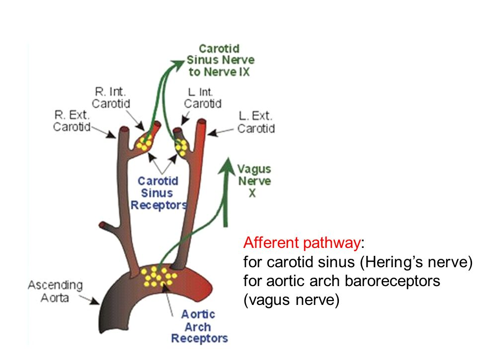 Afferent Pathway A For Carotid Sinus Hering E S Nerve For Aortic Arch Baroreceptors Vagus Nerve