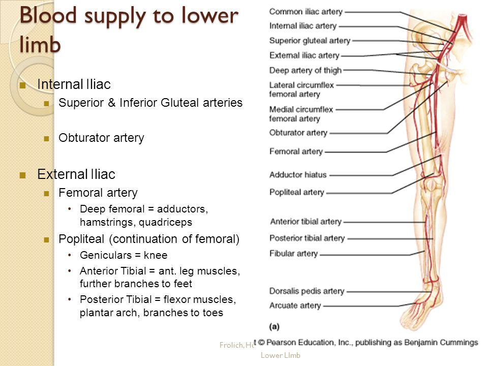 Arterial Supply of the Lower Limb - ppt video online download