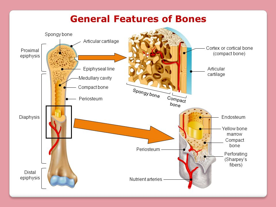 Lecture 13 Bone Tissue Chapter 7 Objectives Ppt Video Online