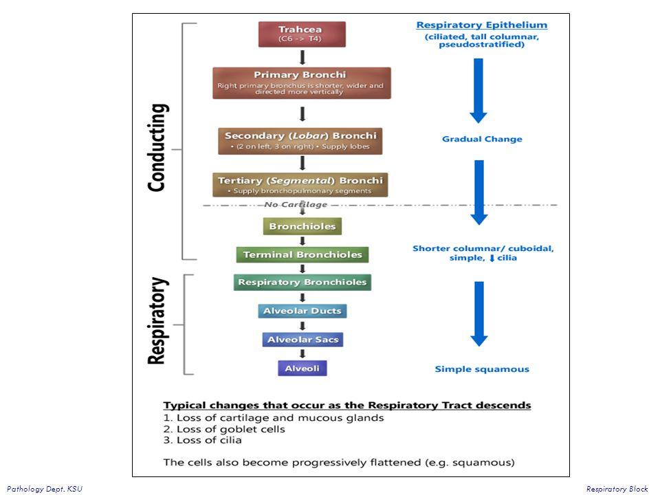 Block Diagram Of Respiratory System Diy Wiring Diagrams