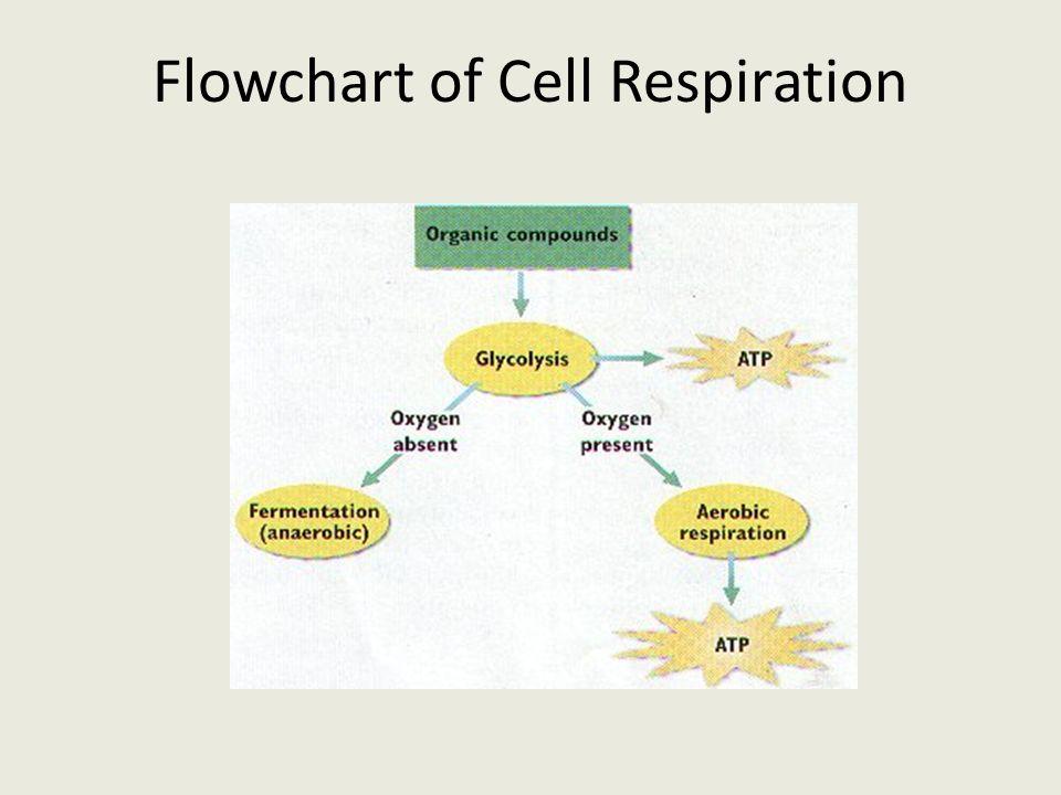 The Equations Cell Respiration C6h12o6 6o2 6co2 6h2o