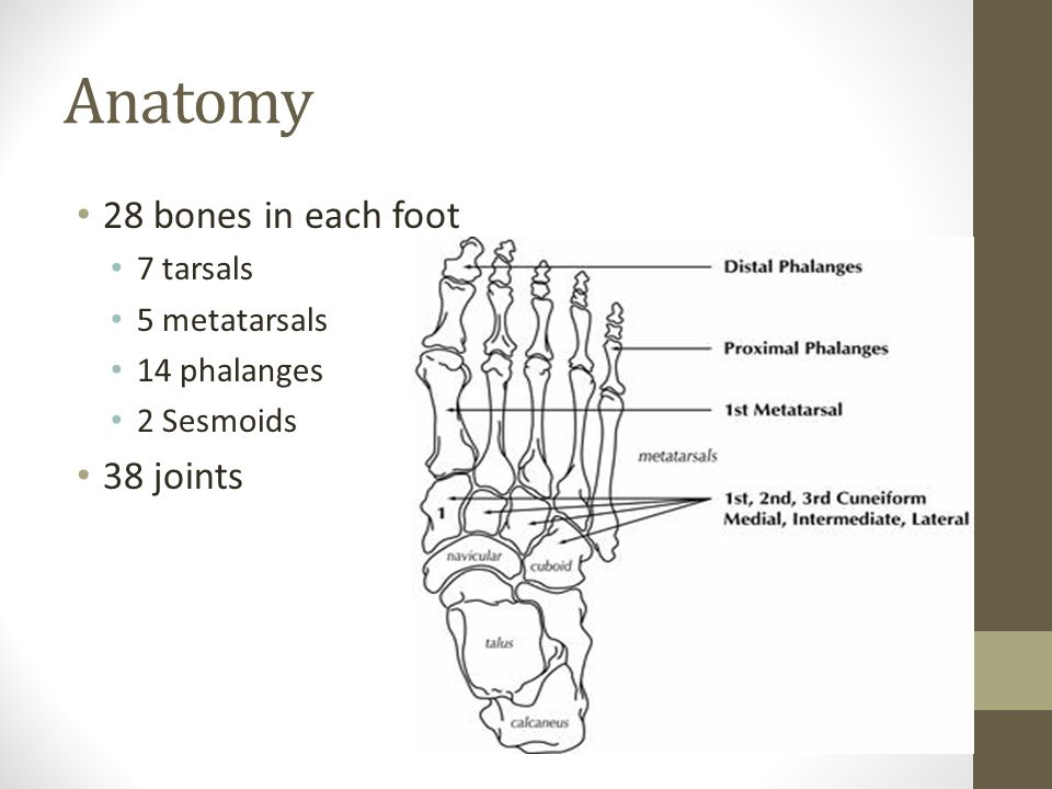Ch. 17 Foot, Ankle, and Lower Leg - ppt download