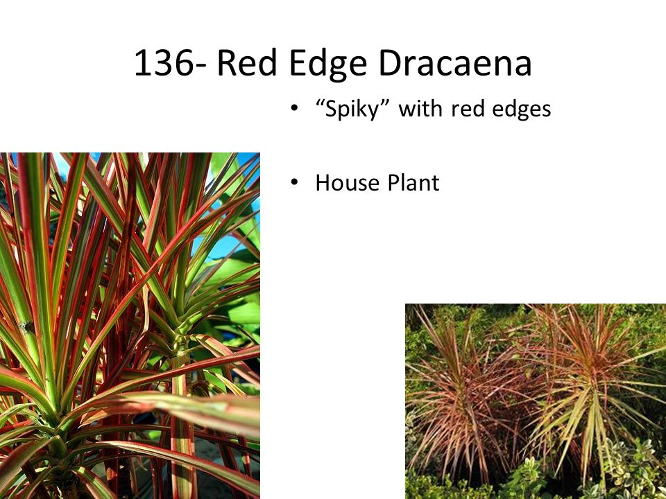 13 136 Red Edge Dracaena Spiky With Edges House Plant