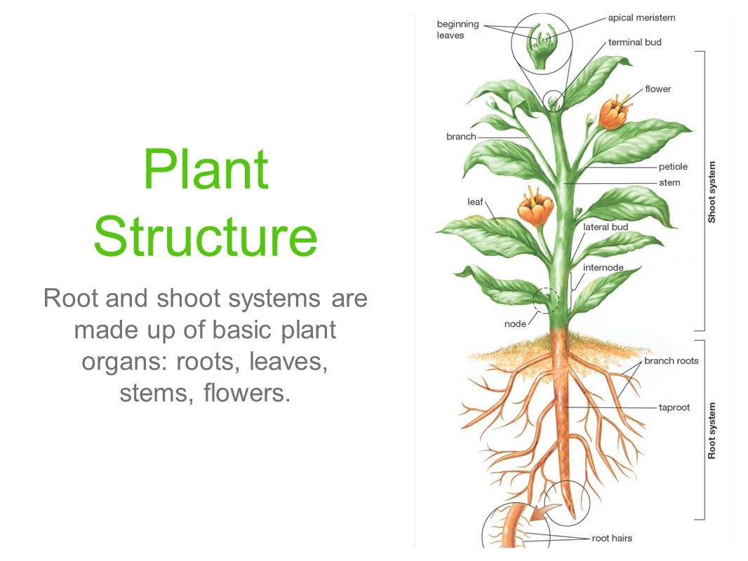 Plant Anatomy Systems and Tissues. - ppt video online download