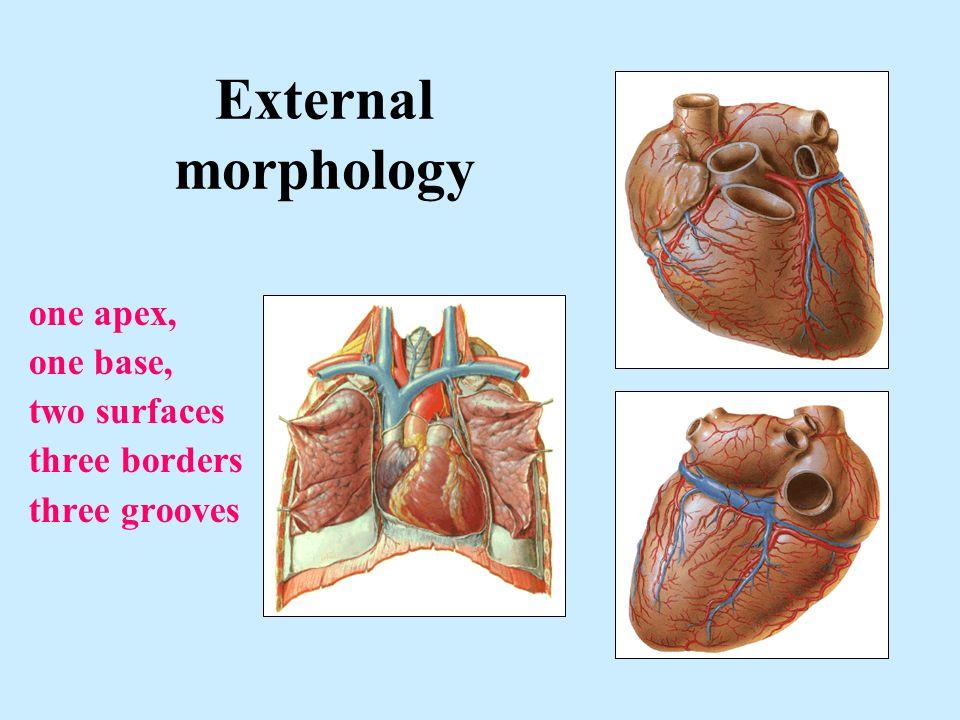Heart Position External morphology Relations Cardiac chambers - ppt ...