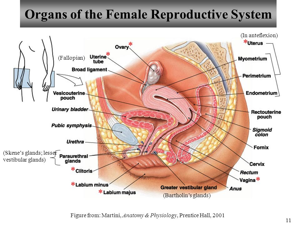 Grossanatomy Of The Kidney Nephrons And Reproductive System Ppt