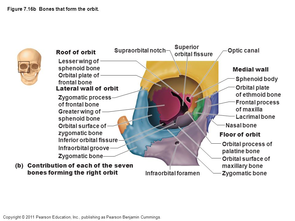 where is the sphenoid bone