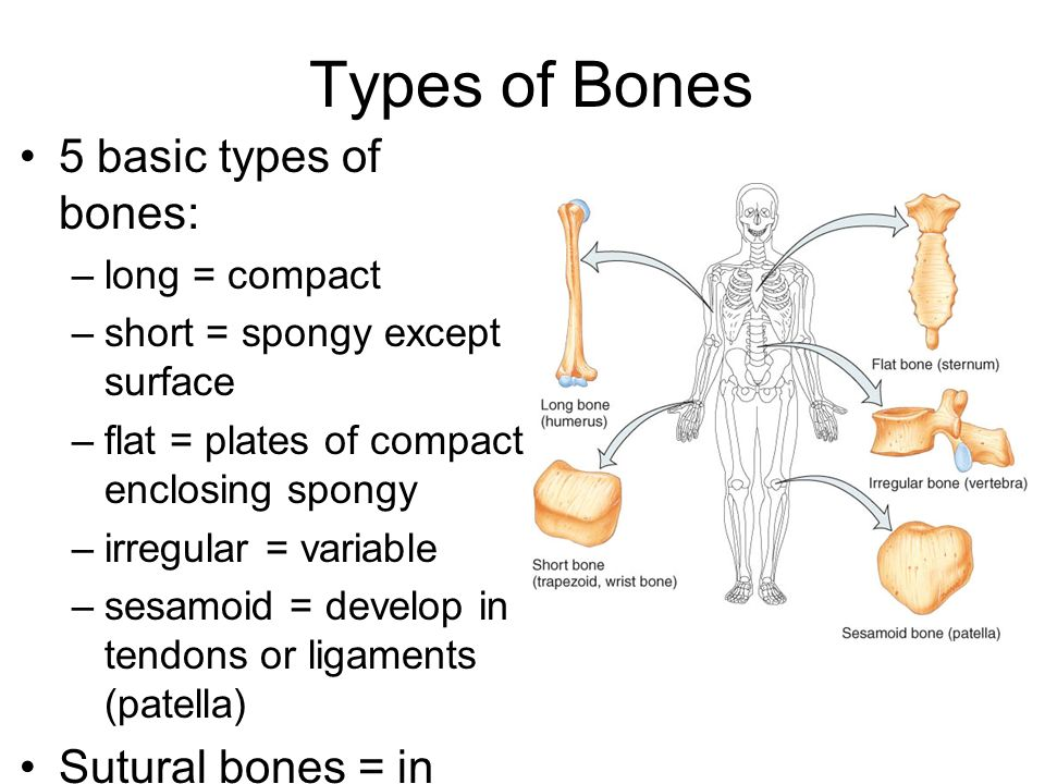 The Skeletal System The Axial Skeleton Lecture Outline Ppt Download