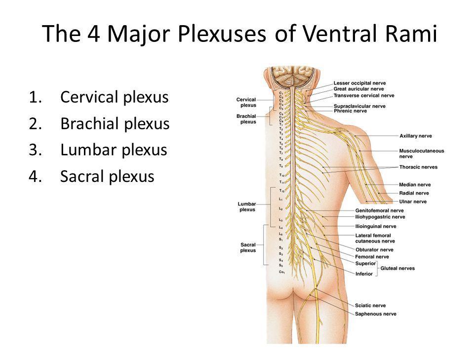 Spinal Nerves Cervical Lumbar And Sacral Plexus Ppt Download