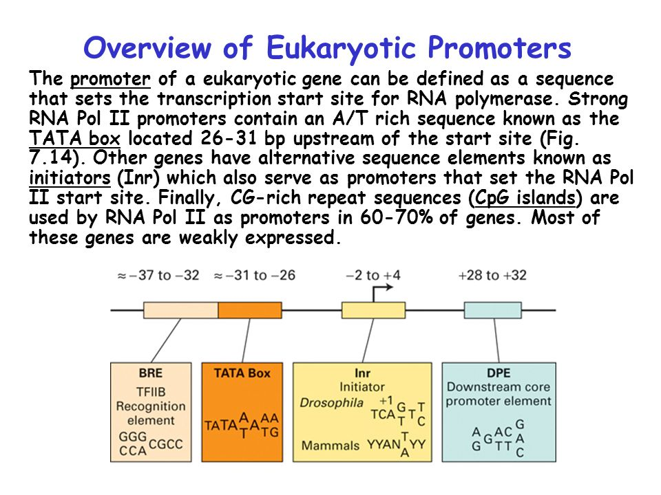 eukaryotic transcriptional activator essay General and specific transcription factors transcription initiation complex & looping combinatorial regulation.